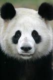Giant Panda. A close up shot of a giant panda Royalty Free Stock Image
