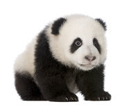 Giant Panda (4 months) - Ailuropoda melanoleuca royalty free stock photography