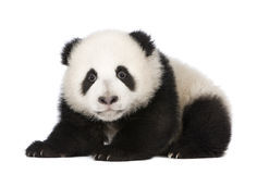 Giant Panda (4 months) - Ailuropoda melanoleuca Stock Photos