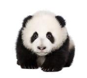 Giant Panda (4 months) - Ailuropoda melanoleuca Royalty Free Stock Images