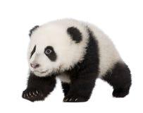 Giant Panda (4 months) - Ailuropoda melanoleuca Stock Photography