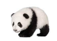Giant Panda (4 months) - Ailuropoda melanoleuca Royalty Free Stock Photo