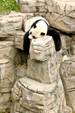 Giant Panda. Captured while laying on large stones stock photos