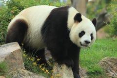 Free Giant Panda Stock Photos - 43461143