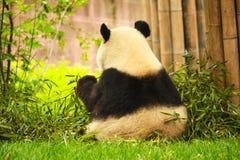 Free Giant Panda Stock Image - 44404471