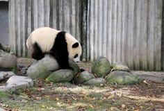 Free Giant Panda Royalty Free Stock Photo - 49785155