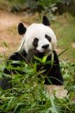Giant Panda. Lovely giant panda is eating fresh bamboo Royalty Free Stock Photography