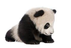 Giant Panda (6 months) - Ailuropoda melanoleuca Stock Photos