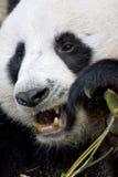 Giant Panda Stock Photography