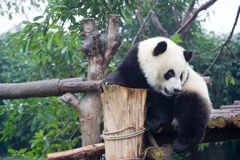 Giant Panda. Panda is a quite lovely animal, seems a little bit dumpish but auctually quite smart Royalty Free Stock Photography