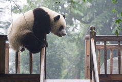 Giant Panda. Panda is a quite lovely animal, seems a little bit dumpish but auctually quite smart Stock Photos
