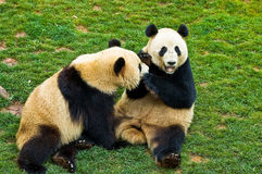 Giant panda. In the park Stock Photo