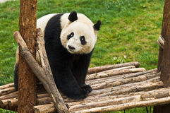Giant panda. In the park Stock Images