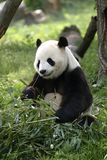 Giant Panda. Feeding Royalty Free Stock Photos