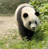 Giant Panda. Close-up  Giant panda in national park photo Stock Photo