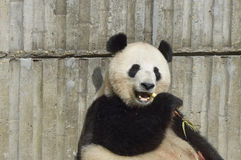 The giant panda against the wall to eat bamboo shoots! Stock Photo