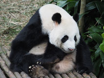 Giant Panda !. The giant panda (Ailuropoda melanoleuca) also known as panda bear or panda, is a bear native to south central China Stock Photography