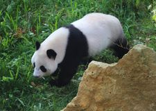 Giant panda, Ailuropoda melanoleuca. Close up of giant panda in forest Royalty Free Stock Images