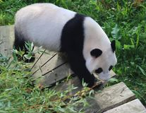Giant panda, Ailuropoda melanoleuca. Close up of giant panda in forest Royalty Free Stock Photo