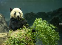 A giant panda Ailuropoda melanoleuca cub chewing on leaves in an indoor display stock photo