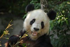 Giant panda (Ailuropoda melanoleuca). Royalty Free Stock Photos