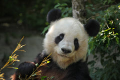 Giant panda (Ailuropoda melanoleuca). Stock Photos