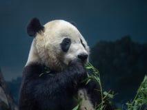 A giant panda Ailuropoda melanoleuca enjoying eating a branch of greens in an indoors zoo stock photos