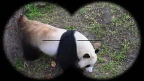 Giant Panda Ailuropoda Melanoleuca Seen through Binoculars. Watching Animals at Wildlife Safari. Shot with a Sony a6300 fps 29,97 4k stock footage