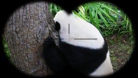 Giant panda ailuropoda melanoleuca seen through binoculars. Watching animals at wildlife safari. Shot with a Sony a6300 fps 29,97 4k stock video footage