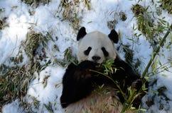 Giant Panda (ailuropoda melanoleuca) Royalty Free Stock Photo