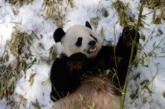 Giant Panda (ailuropoda melanoleuca) Stock Photos