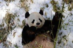 Giant Panda (ailuropoda melanoleuca) Royalty Free Stock Photography