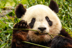 Giant Panda. The panda, also known as panda bear or the giant panda to distinguish it from the unrelated red panda, is a bear native to south central China. It Royalty Free Stock Images