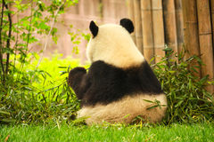 Giant Panda. The panda, also known as panda bear or the giant panda to distinguish it from the unrelated red panda, is a bear native to south central China. It Stock Image