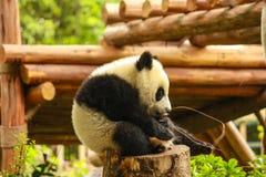 Giant Panda Stock Images