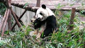 Giant panda baby stock footage