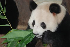 Giant panda bear Stock Photos