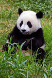 Giant panda bear royalty free stock image