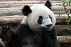 Giant panda bear Stock Images
