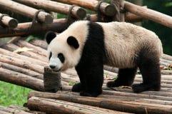 Giant panda bear Stock Image