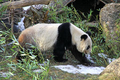 Giant panda bear Stock Photos
