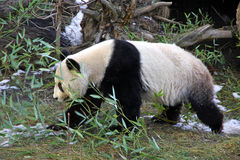 Giant panda bear Royalty Free Stock Images