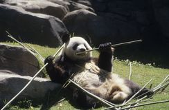 Giant panda bear Stock Photography