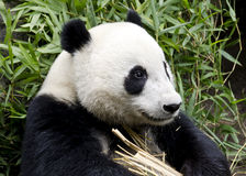 Giant Panda Bear. Sitting in front of bamboo Stock Images