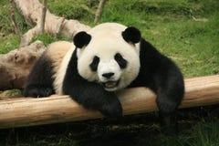 Giant panda bear (Ailuropoda Melanoleuca), China Royalty Free Stock Image