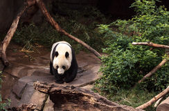 Giant panda bear Ailuropoda melanoleuca. Young giant panda bear known as Ailuropoda melanoleuca on the hunt for bamboo to eat stock image