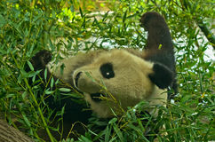 Giant panda bear in bamboo forest at Schoenbrunn park Zoo in Vienna Royalty Free Stock Photography