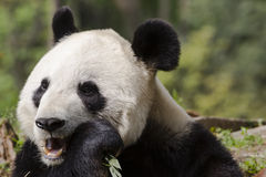 Giant Panda Bear Close-up Chewing on Bamboo Royalty Free Stock Photos