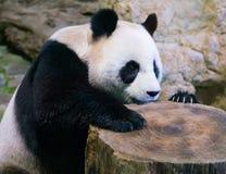 Giant panda bear close-up with visible claws stock photos