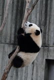 Giant panda bear (cub) Royalty Free Stock Images